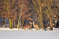 Herten in de winter op de sneeuw Royalty-vrije Stock Foto's