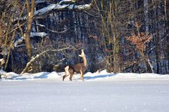 Herten in de winter op de sneeuw Stock Afbeelding