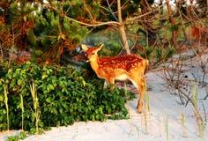 Herten in de zon op het strand Stock Foto's