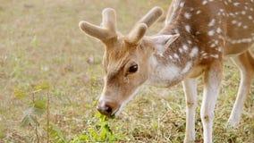 Herten die bij Buxa-bos weiden stock footage
