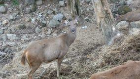 Herten die in bos weiden stock video