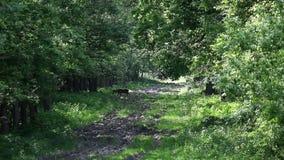 Herten die in bos weiden stock videobeelden