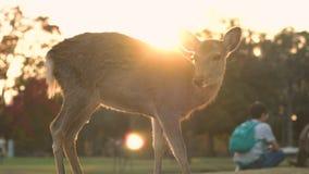 Herten die in de bewegingen van Nara in een zonsondergang met toeristen weiden die en foto's petting nemen stock videobeelden