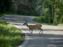 Herten die de weg kruisen stock foto