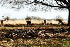 Herten die in de zonsondergang in Richmond Park, Londen waarnemen royalty-vrije stock afbeeldingen