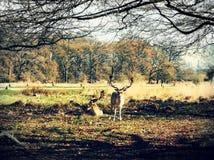 Herten die in de zonsondergang in Richmond Park, Londen waarnemen stock afbeelding