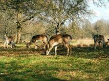 Herten die in de zonsondergang in Richmond Park, Londen waarnemen royalty-vrije stock fotografie