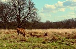 Herten die in de zonsondergang in Richmond Park, Londen waarnemen stock afbeeldingen