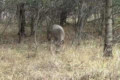 Herten die in een bos weiden stock footage