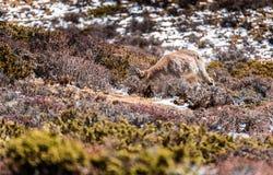 Herten die gras op de berg eten Royalty-vrije Stock Foto