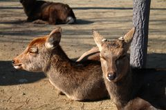 Herten die die met ogen rusten op grond in Nara Park worden gesloten royalty-vrije stock afbeelding