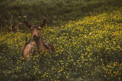 Herten die op bloemgebied bepalen Stock Afbeelding