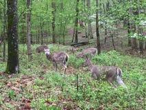 Herten die op licht bebost gebied bladeren dichtbij eten als anderen tribune royalty-vrije stock afbeeldingen