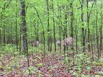 Herten die op licht bebost gebied bladeren dichtbij eten als anderen tribune stock afbeelding