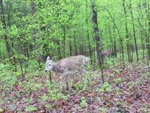 Herten die op licht bebost gebied bladeren dichtbij eten als anderen tribune stock foto's