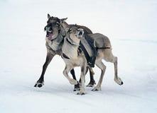 Herten die op sneeuw rennen royalty-vrije stock afbeeldingen