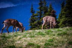 Herten die op weide met berglandschap bij Orkaanrand weiden Royalty-vrije Stock Foto
