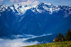 Herten die op weide met berglandschap bij Orkaanrand weiden Stock Foto