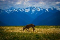 Herten die op weide met berglandschap bij Orkaanrand weiden Royalty-vrije Stock Foto's
