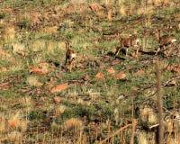 Herten die over gebrand gebied weiden Royalty-vrije Stock Foto