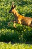 Herten die in platteland springen Royalty-vrije Stock Afbeeldingen