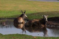 Herten die in pool koelen Royalty-vrije Stock Afbeeldingen
