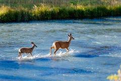 Herten die rivier kruisen stock afbeeldingen
