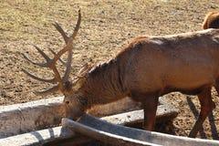 Herten die in wildpark in Bad Mergentheim eten stock foto's