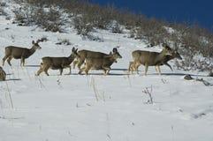 Herten die zich door sneeuw bewegen Stock Foto