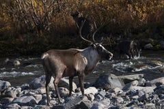 Herten die zich op de rivierbank bevinden stock fotografie