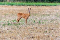 Herten die zich op een stoppelveld bevinden Royalty-vrije Stock Fotografie