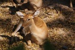 Herten in dierentuin royalty-vrije stock afbeelding