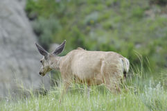 Herten in Dinosaurus Provinciaal Park, Alberta royalty-vrije stock foto's