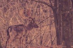 Herten in een bos bij de herfst Royalty-vrije Stock Afbeelding
