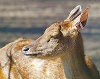 Herten, een wijfje Stock Foto