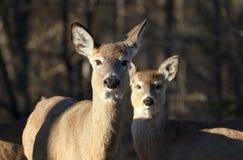Herten en fawn Stock Foto