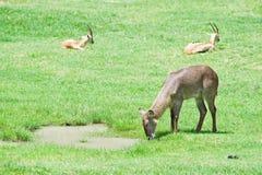 Herten en gazelle op gebied royalty-vrije stock afbeelding