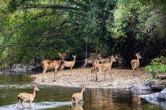 Herten en hinds het lopen door water aan bos Stock Afbeelding
