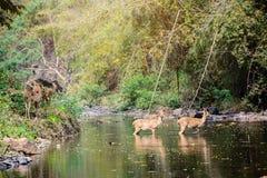 Herten en hinds het lopen door water aan bos Stock Afbeeldingen