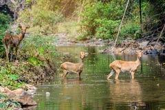 Herten en hinds het lopen door water aan bos Royalty-vrije Stock Foto's