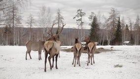Herten en leider in de winterbos stock videobeelden