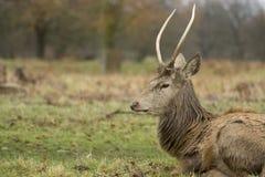 Herten en Mannetjes in Dichtbegroeid park royalty-vrije stock fotografie