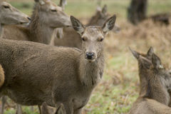 Herten en Mannetjes in Dichtbegroeid park royalty-vrije stock afbeeldingen
