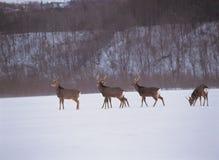 Herten en Sneeuw Stock Afbeeldingen