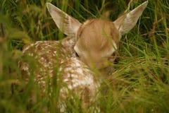 Herten fawn Royalty-vrije Stock Foto's