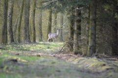 Herten gaand formulierveld naar bos royalty-vrije stock foto