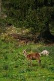 Herten in het bos stock afbeelding
