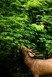 Herten in het bos Royalty-vrije Stock Afbeeldingen