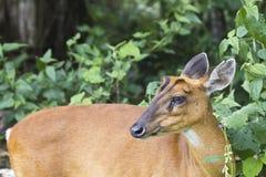 Herten in het bos van het nationale park van Khao Yai Royalty-vrije Stock Fotografie