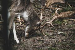 Herten in het Geheime bos royalty-vrije stock afbeeldingen